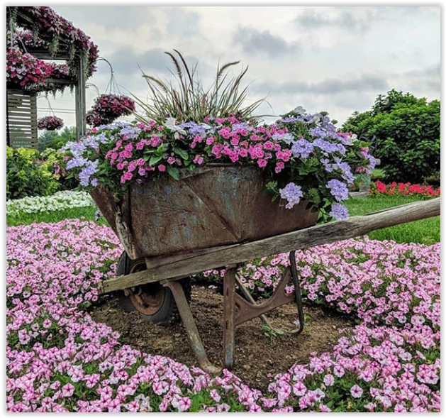 Anything That Holds Soil And Can Have Drainage Holes Drilled In The Bottom Will Work A Rustic Wheelbarrow Holds Blue Rustic Wheelbarrows Petunias Flower Beds