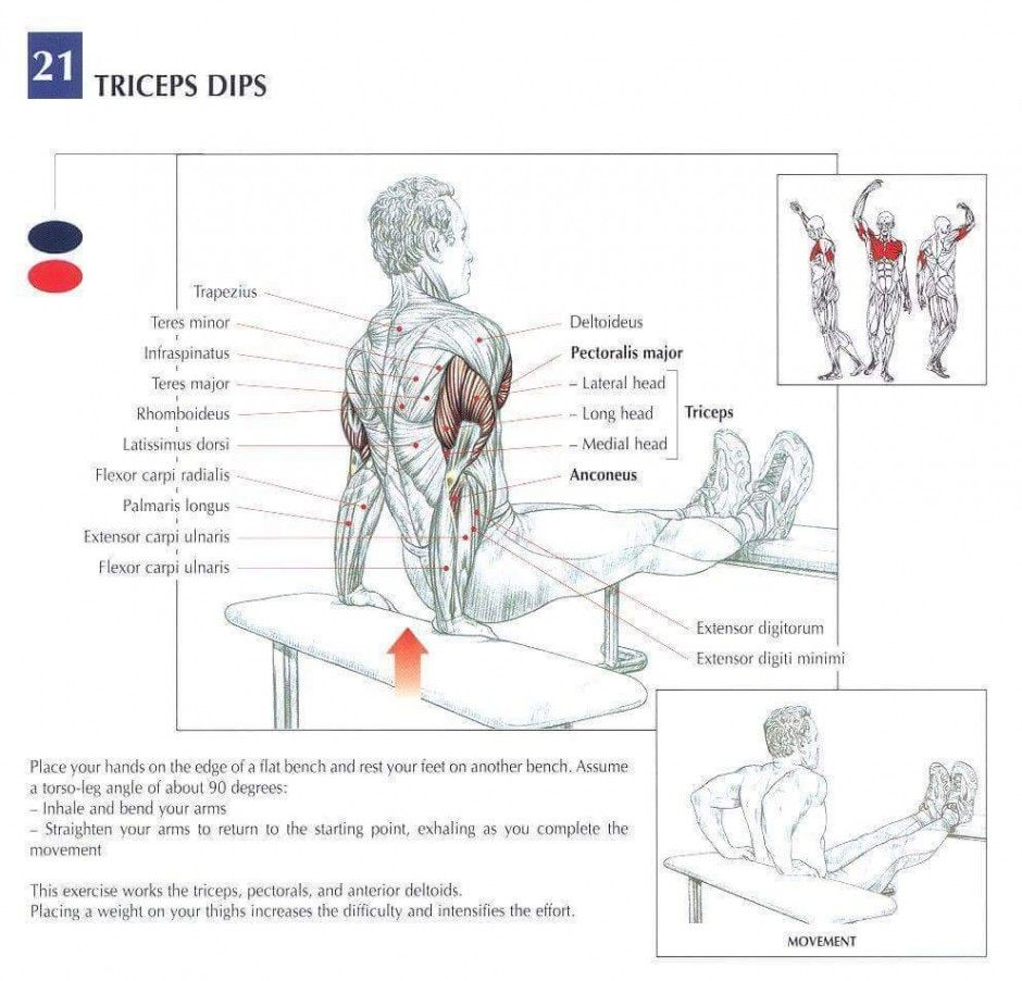 Triceps muscles training diagram - www.anatomynote.com | Anatomy ...