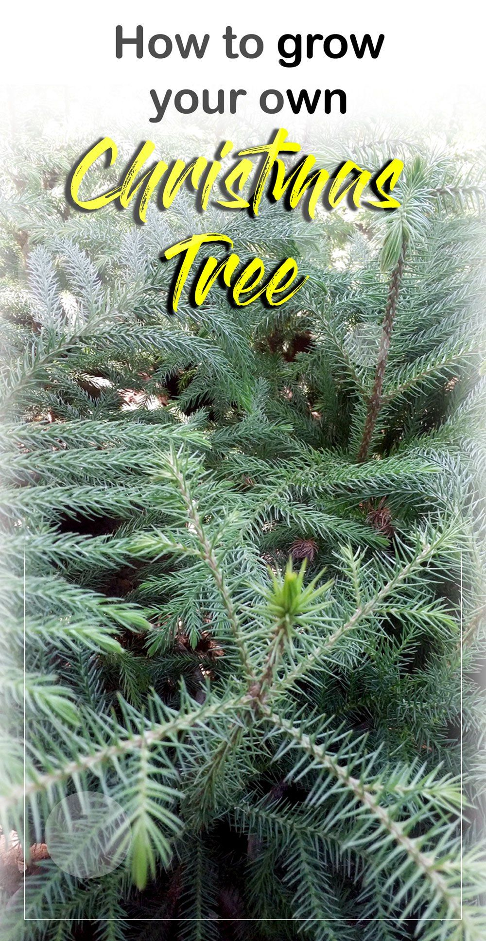 How to grow your own Christmas Tree | Growing tree, Christmas tree farm, Grow your own