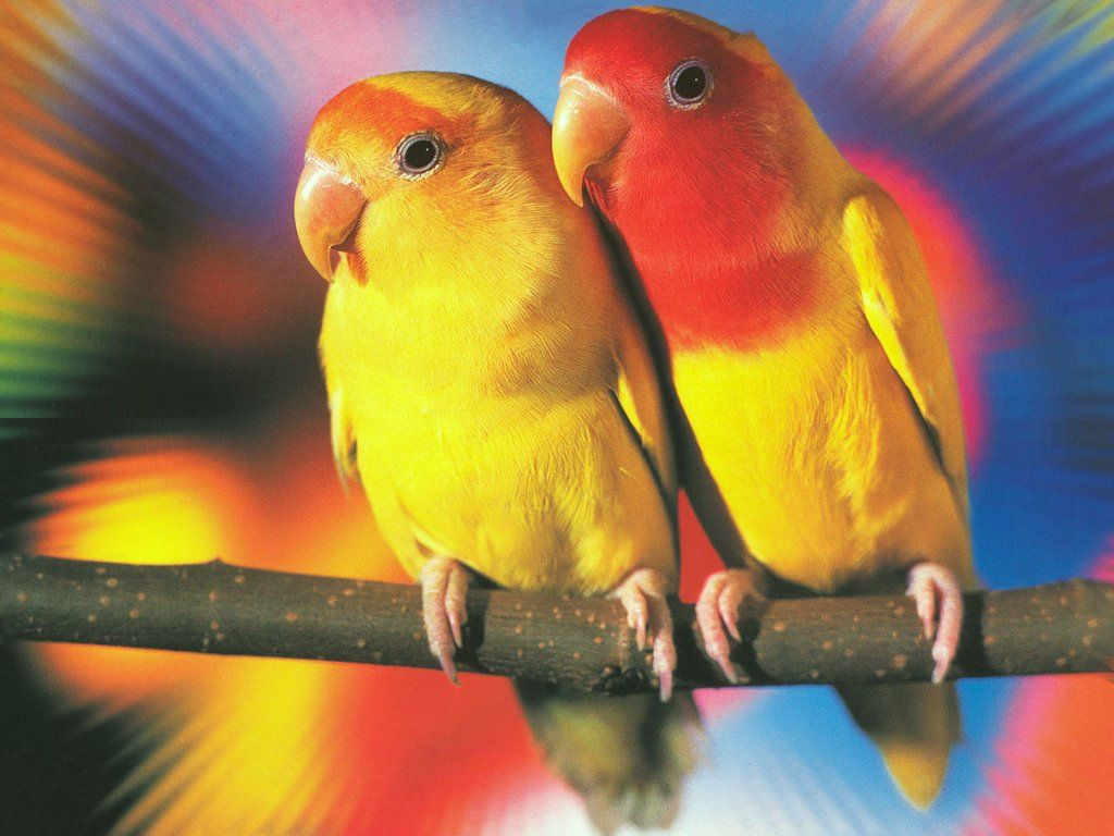 Cute Love Birds Loving Wallpapers Colorful Kissing Birds
