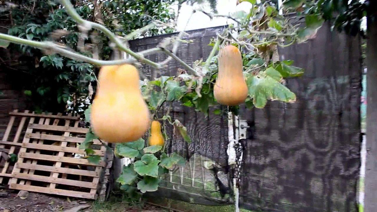 Un Bosque De Zapallos Calabaza Cultivo De Hortalizas Jardín De Productos Comestibles Plantas Jardin