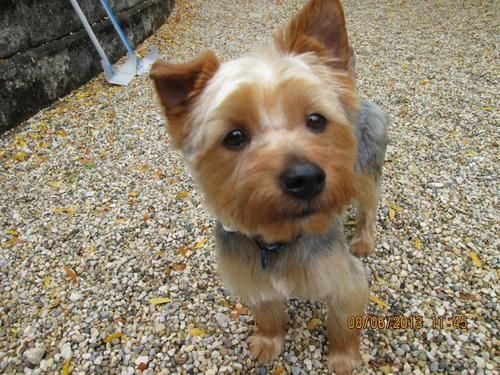 Adopt Mason on Silky terrier, Yorkie dogs, Yorkshire terrier
