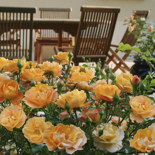 Flower carpet roses flower carpet amber anthony tesselaar flower carpet roses flower carpet amber anthony tesselaar international mightylinksfo