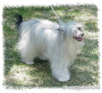 Chinese Crested Powder Puff I Own One Of These Dogs But She S The