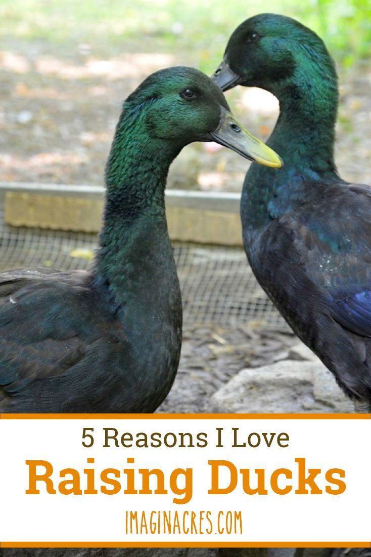 5 Advantages to Raising Backyard Ducks | Raising ducks ...