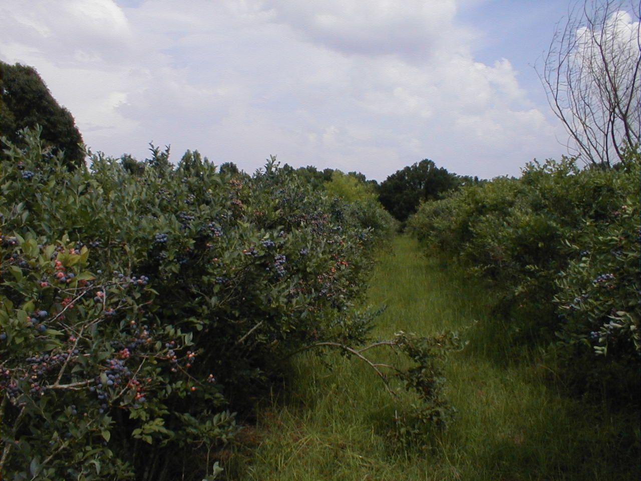 When to prune blueberries  blueberry kinds  Zone b garden  Pinterest  Blueberry Blueberry