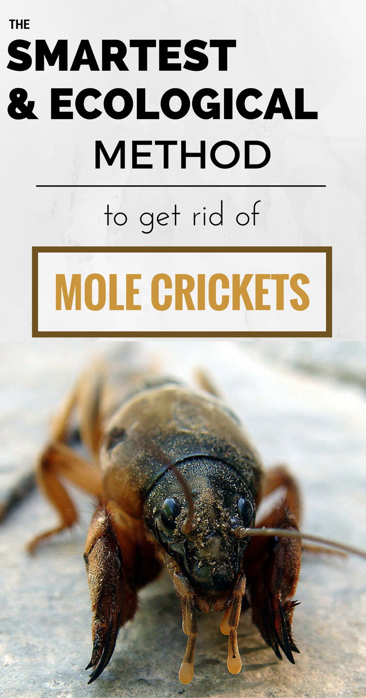 The smartest and ecological method to get rid of mole crickets.
