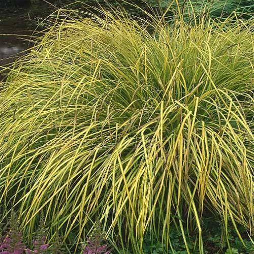carex elata aurea -Bowleu0027s Golden sedge garden Pinterest - carex bronze reflection