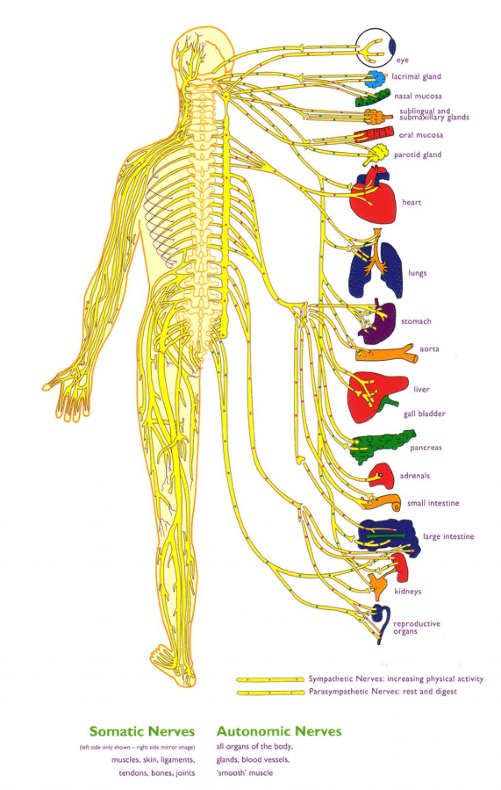 Libbylangrana2photography Diagrams Of The Human Body Inspiration And