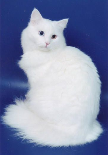 f1ecf7cc53 Turkish angora