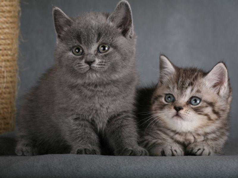 Susse Kleine Britisch Kurzhaar Katzenbabys Britisch Kurzhaar