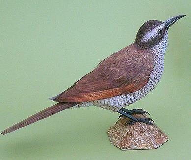 female superb bird of paradise paper model by johan scherft model