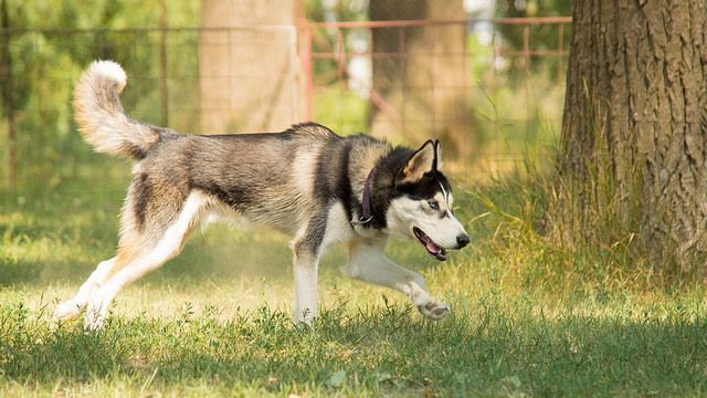 Is Your Siberian Husky Driving You Crazy Within Hours Stop