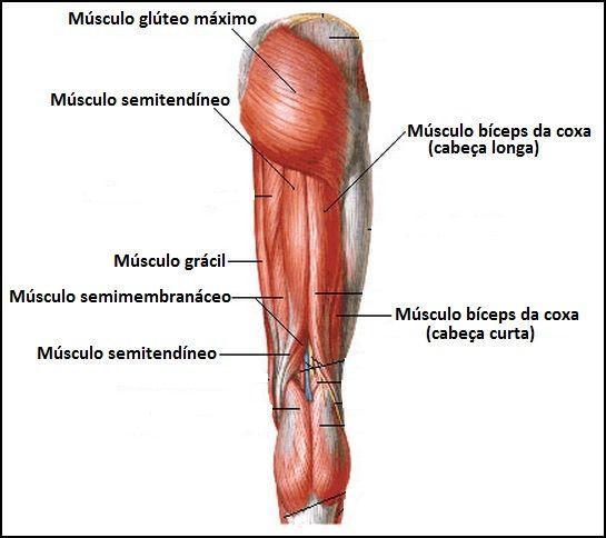 O Sistema Muscular é o conjunto de órgãos (músculos) que nos permite ...