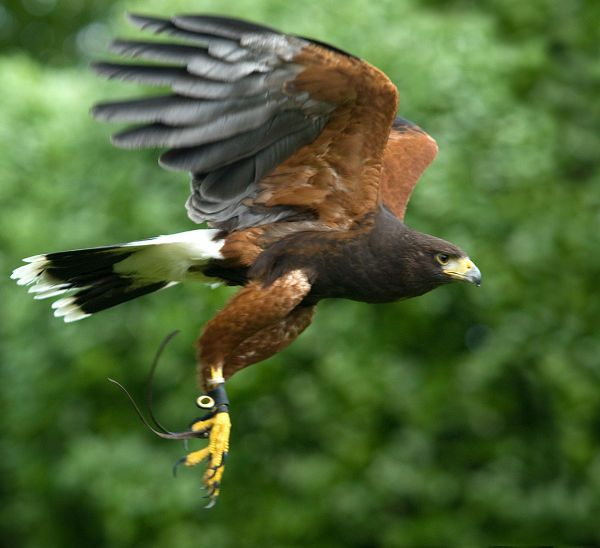 Falconry Apprenticeship