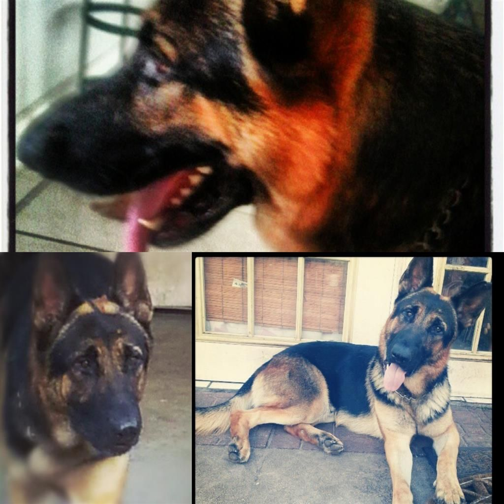 Lost Dog German Shepherd Dog Fort Lauderdale Fl United States Dog Fort Losing A Dog Shepherd Dog