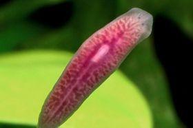 Biológiai filo platyhelminthes