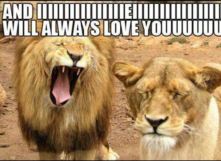 And I Will Always Love You Lions Funny Lion Love You Meme Funny Animals