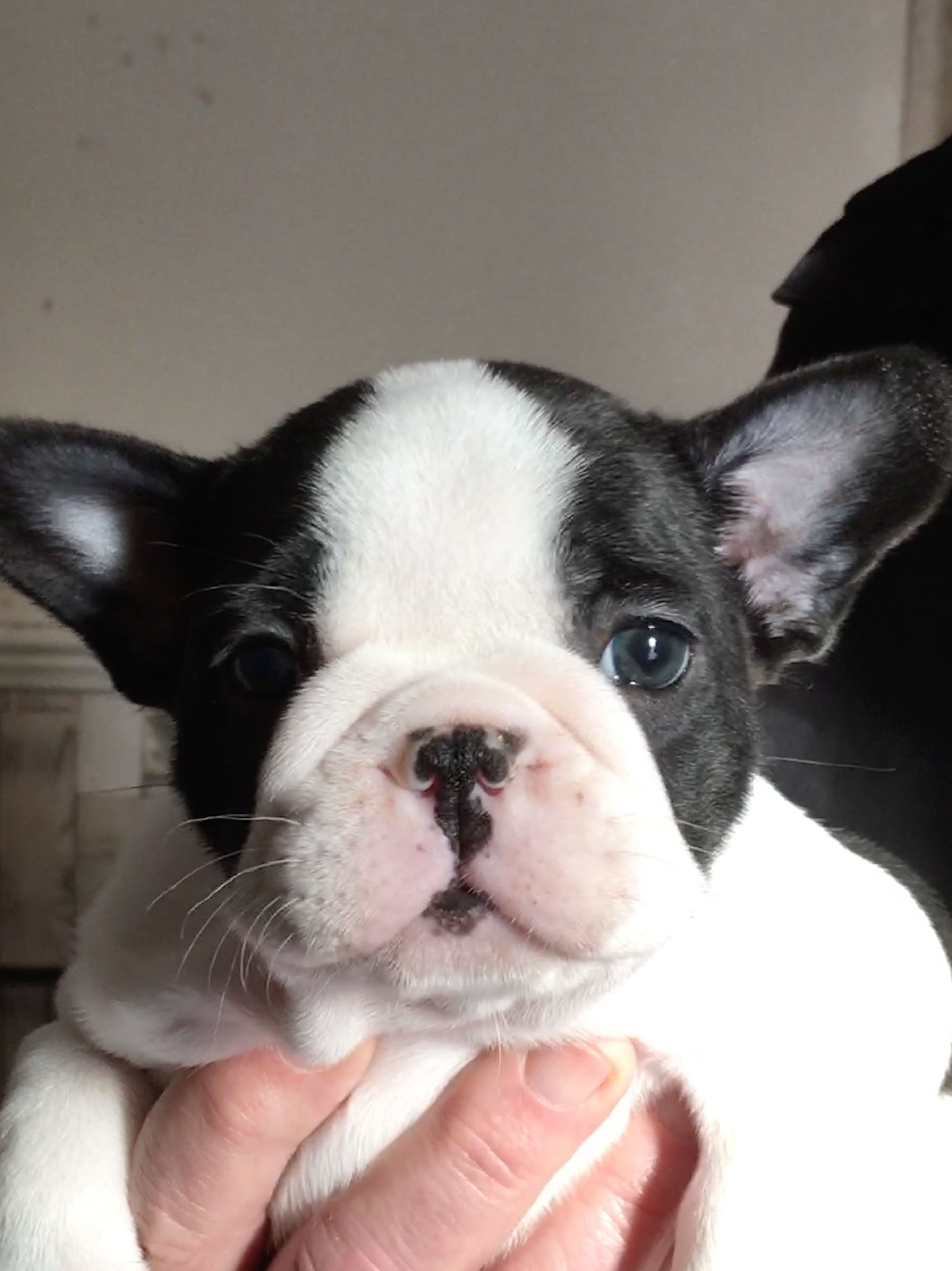6 week old pied frenchie 🥰   pied french bulldog, french