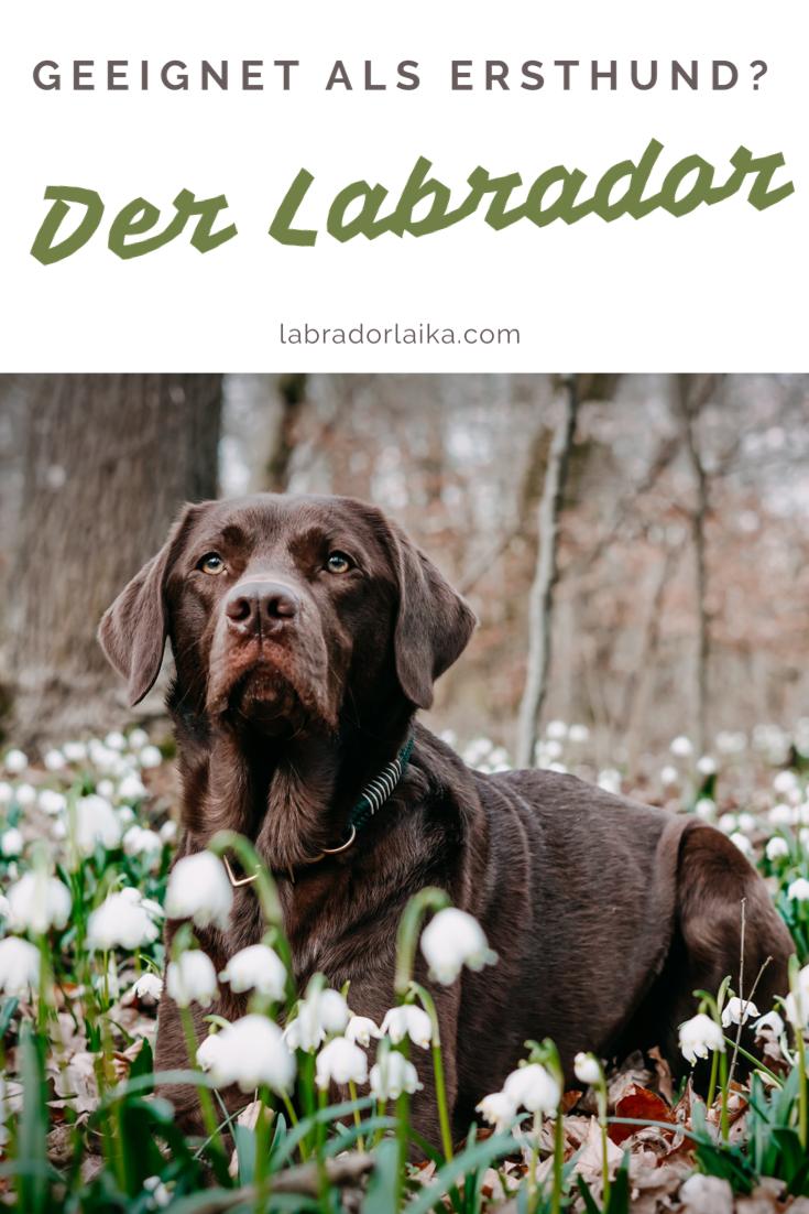 Labrador Als Anfangerhund In 2020 Mit Bildern Hunde Beliebte Hunderassen Hund Anschaffen