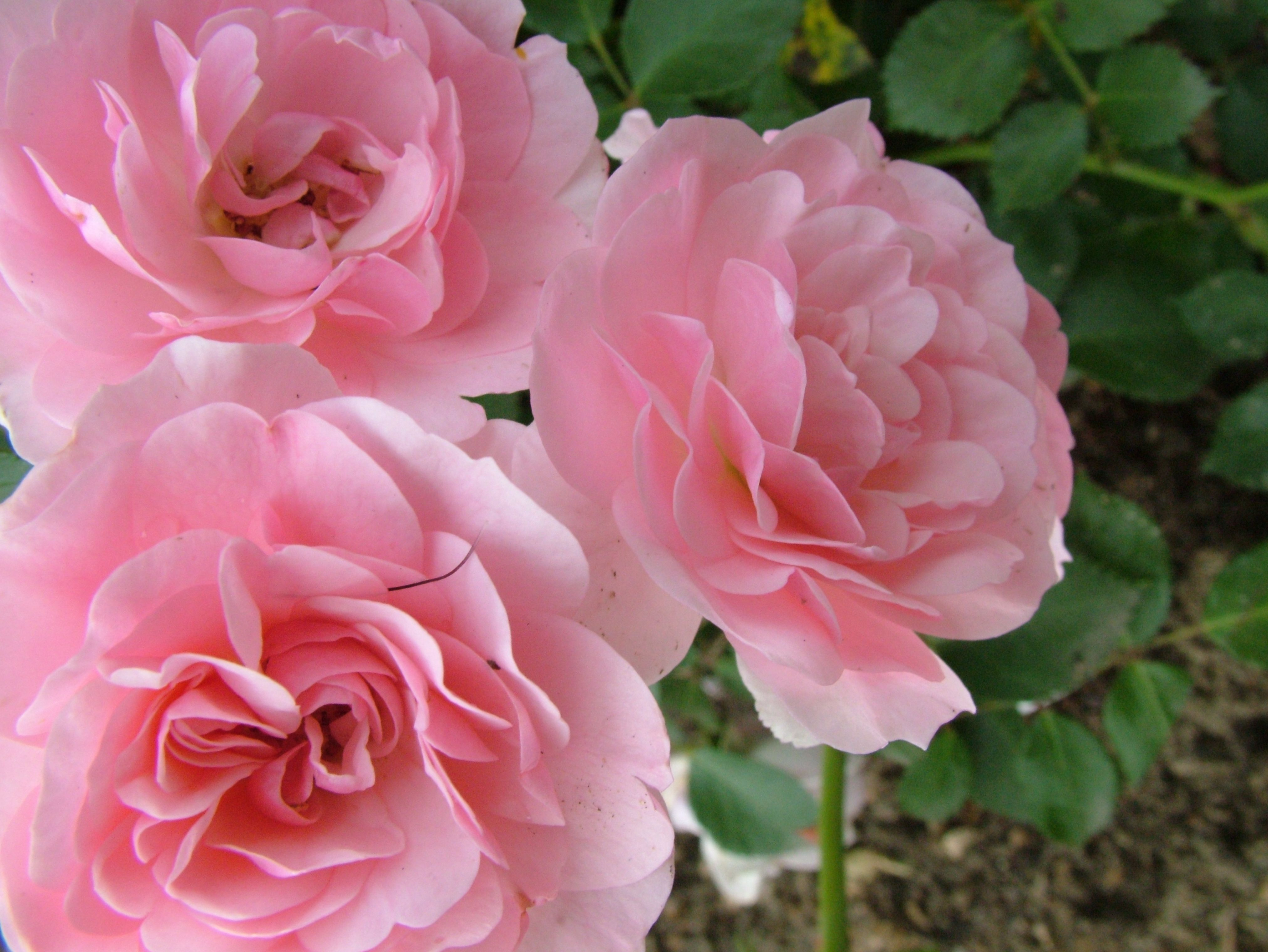 Free Download Rose Flowers Pictures to download full