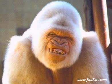 Gorilla Smiles Lachende Tiere Lachelnde Tiere Ausgestopftes Tier