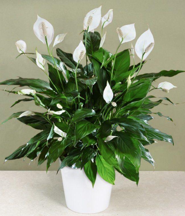 Lírio-da-paz (Spathiphyllum)   o Lírio-da-paz, é uma planta muito cultivada dentro de casa devido a baixa exigência de luz e cuidados, mas nada impede que ela seja utilizada em ambientes externos também.