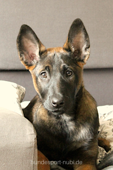 Blog Hundesport Nubi Hundeblog Hundetraining Beschaftigung In 2020 Hundchen Training Malinois Welpen Schutzhunde