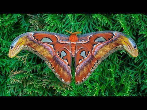 Atlas Moth Development Wow Atlasspinner Motte Entwicklung Fhd Youtube Atlas Moth Moth Facts Moth