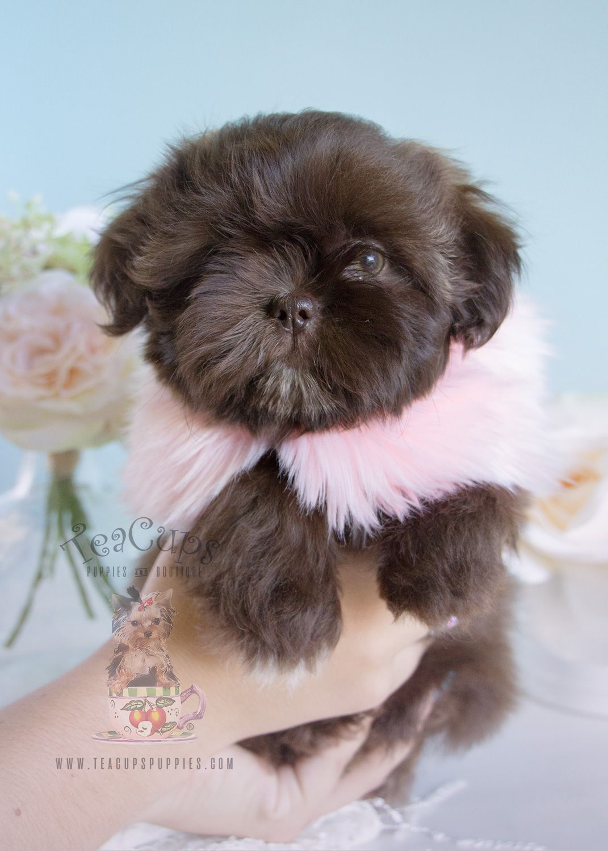 Chocolate Shih Tzu Puppies Davie Teacups Puppies Boutique Shihtzu Shih Tzu Puppy Shih Tzu Grooming Teacup Puppies For Sale
