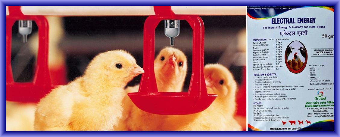 गर्मी में मुर्गी पालन कैसे कर