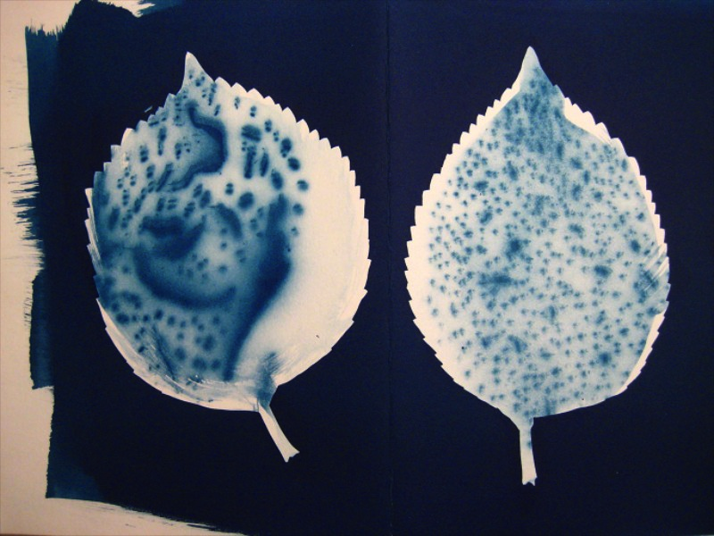 A cyanotype of a leaf; then the interior of leaves was recoated then exposed thru pinholes on tin foil.