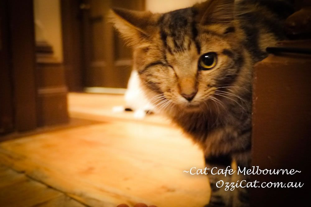 Cat Cafe Melbourne Braveheart Cat Cafe Cats Cat Training