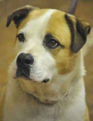 Jasmine is an adoptable English Bulldog Dog in Martinsburg, WV. Jasmine, who is 4 yrs. old, was given up because her owner could not afford a dog. She is not good with small dogs or cats. She is a swe...