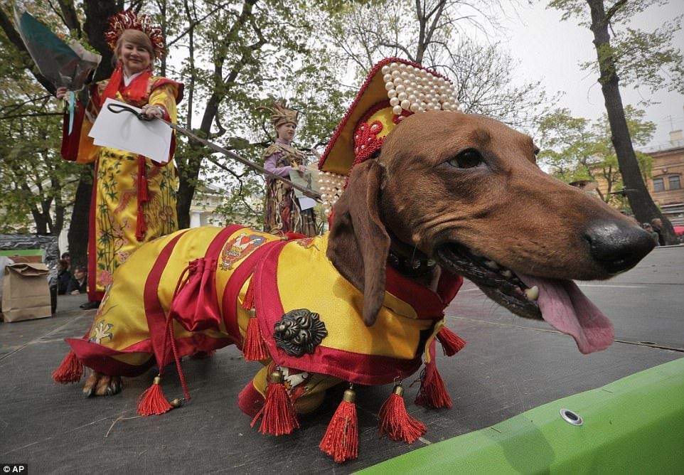Adorable Dachshunds Take Part In St Petersburg S Annual Costume