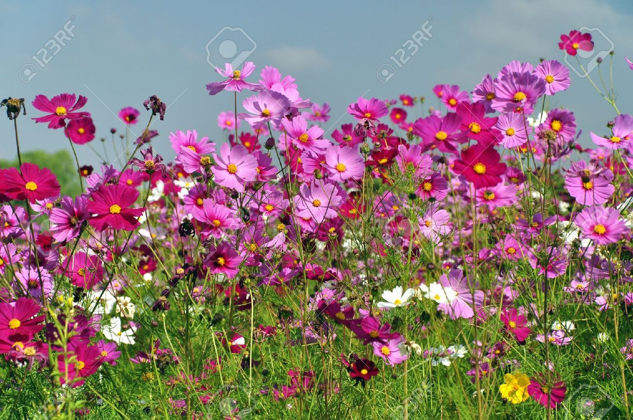 Cosmos Flower Field With Blue Sky Stock Photo, Picture And Royalty ...