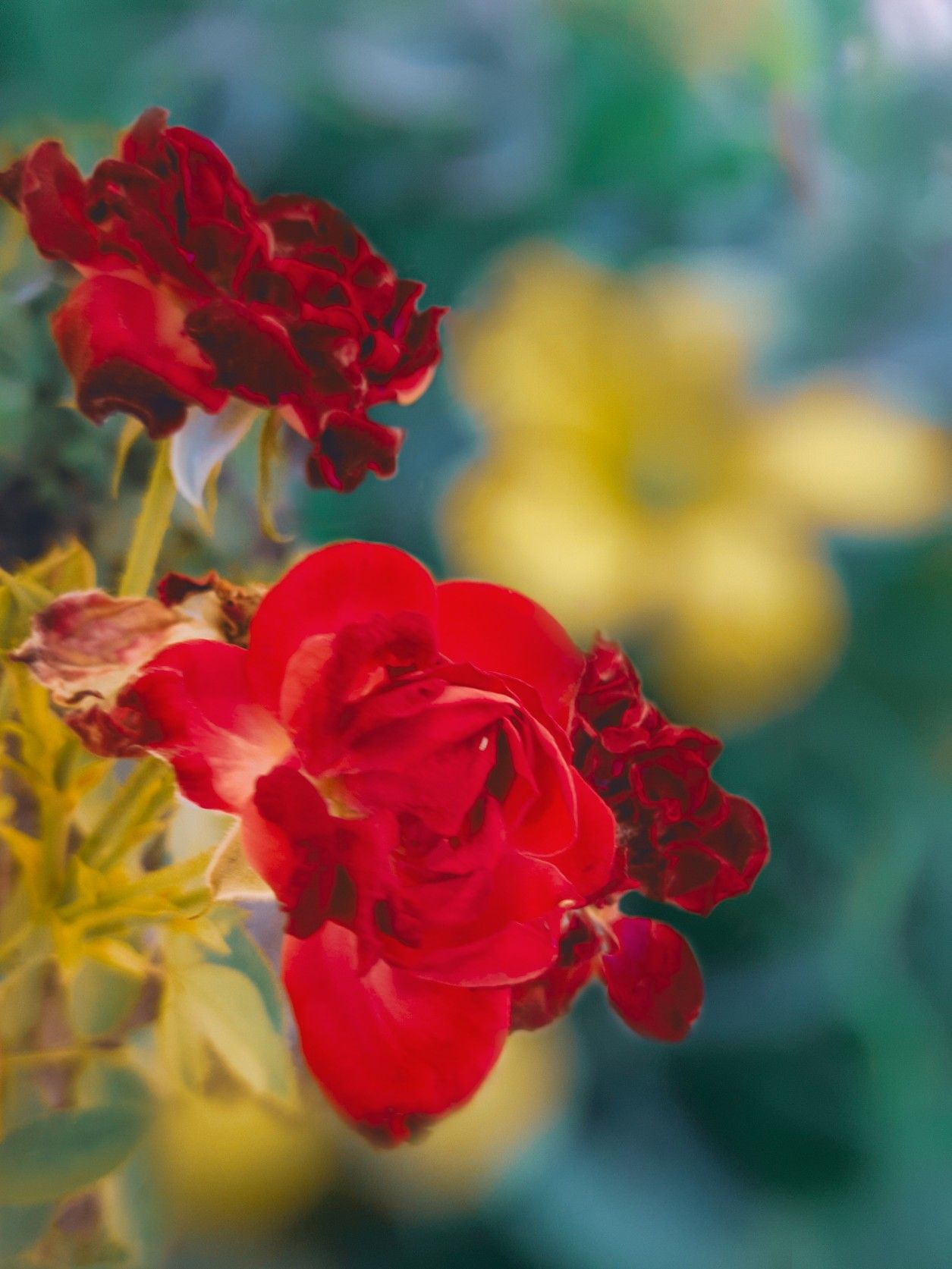 خلفيات ورد Wall Paper صور ورد ورده حمراء ورده خلفيات موبايل ورد صور بالهاتف خلفيات للموبايل Cute Couple Wallpaper Couple Wallpaper Love Rose