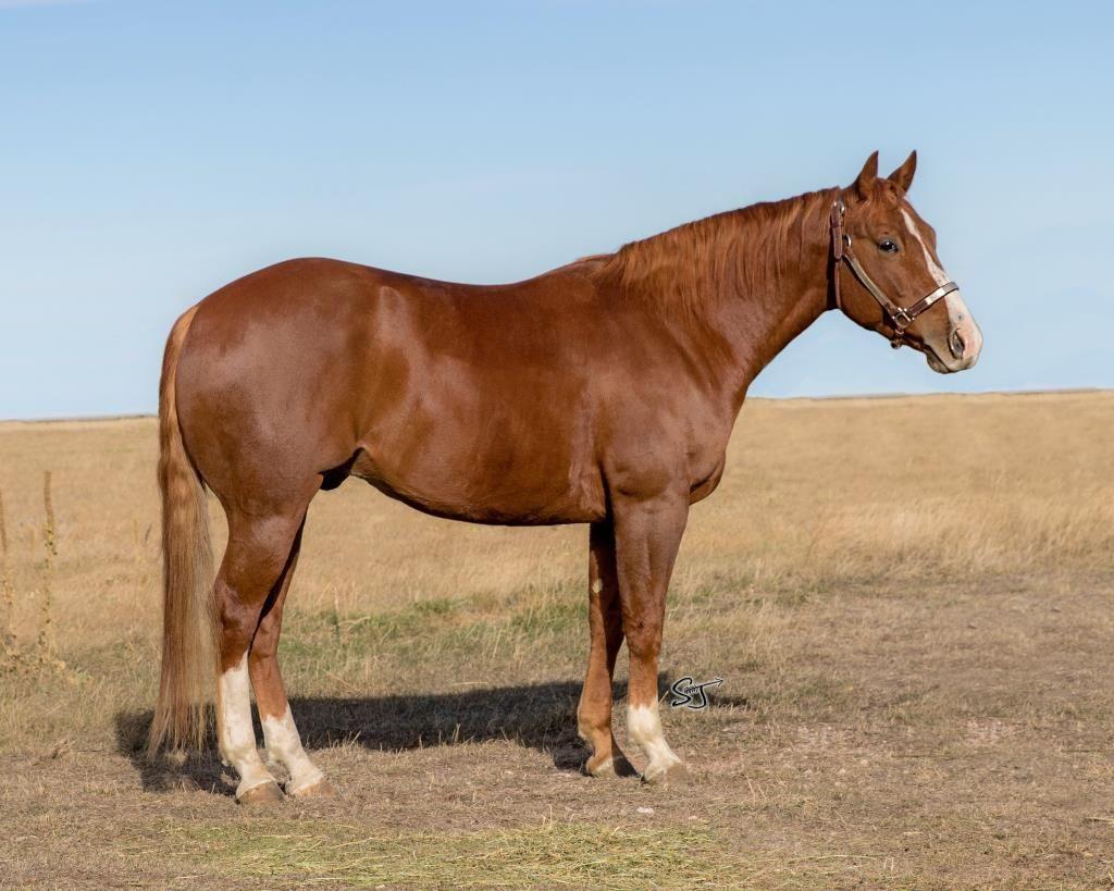 Rascal Flatts 2013 Aqha Sorrel Gelding For Sale At Feb Billings Livestock Horse Sale Own Son Of Peptoboonsmal Ou American Quarter Horse Horses Horse World