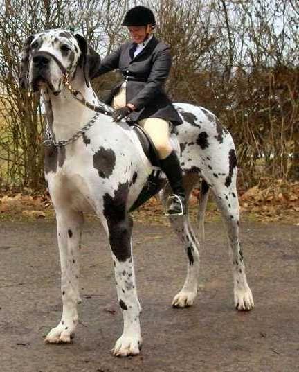 World's Largest Dog Breeds Top 10Pet Photos Gallery - Dog : Pet