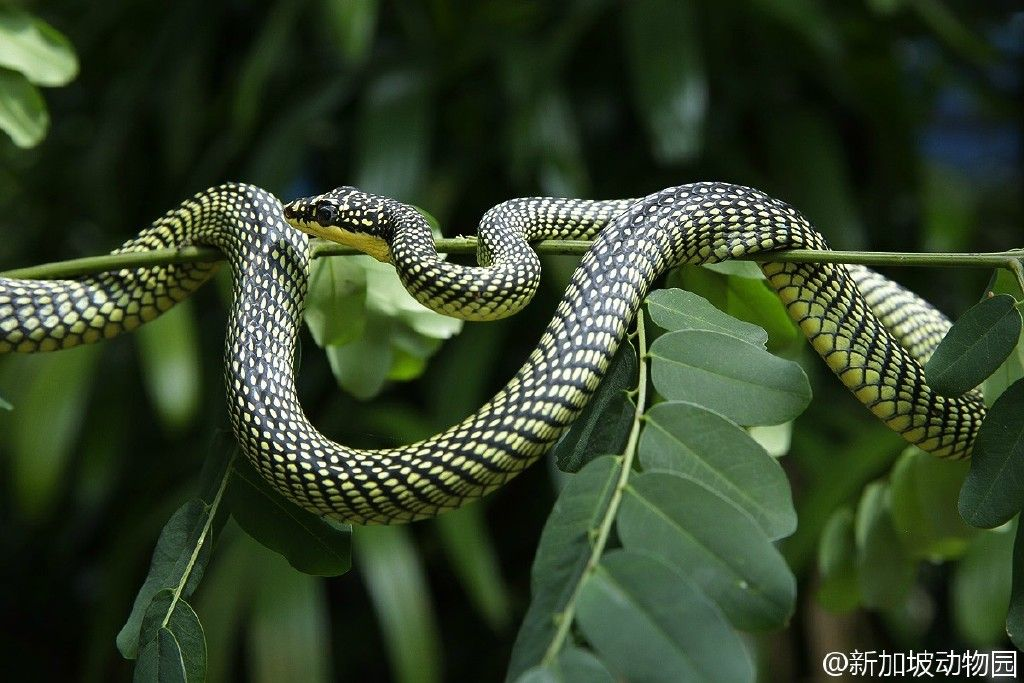金花蛇 Chrysopelea ornata