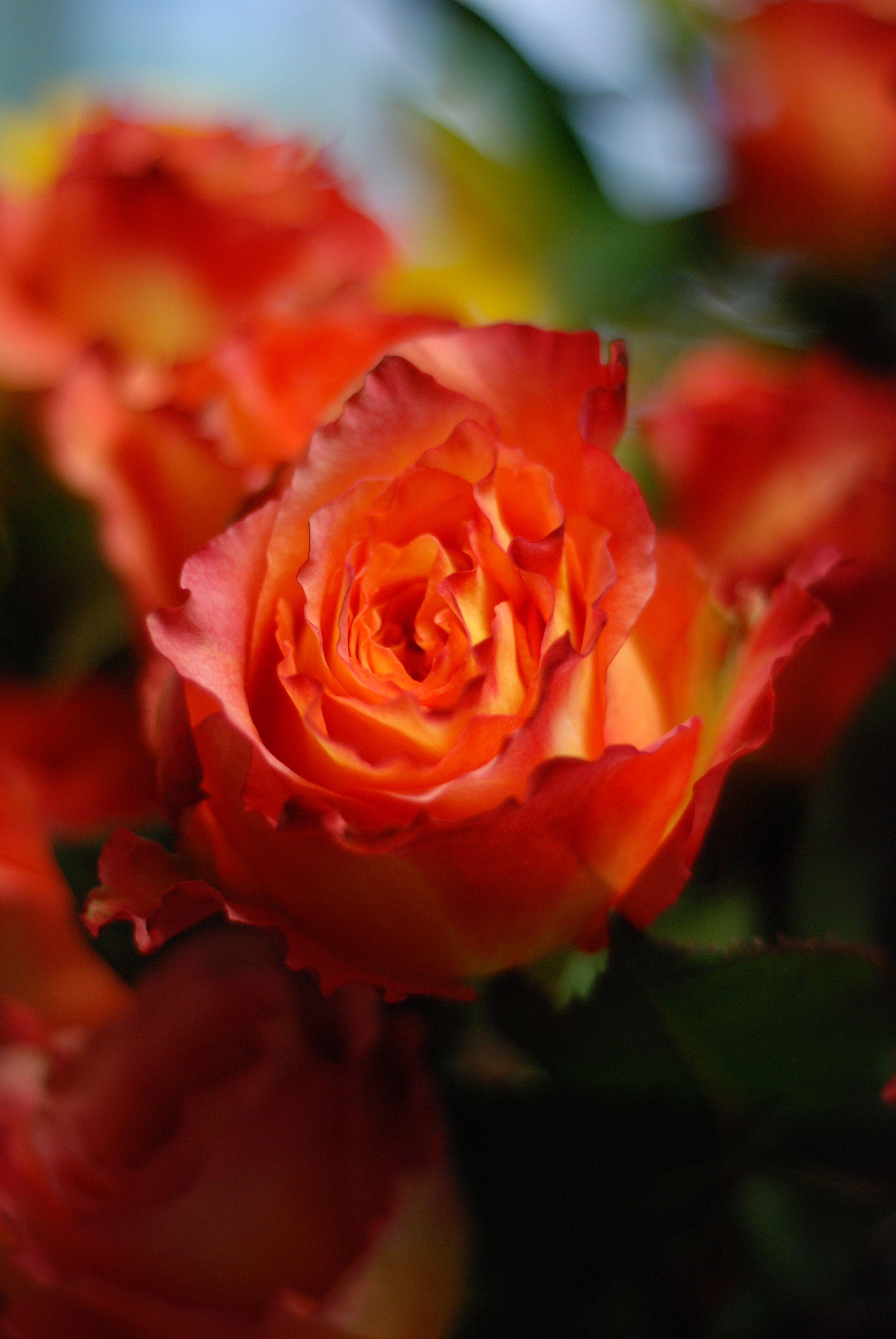 Free Spirit Rose Free spirit rose, Rose, Flowers