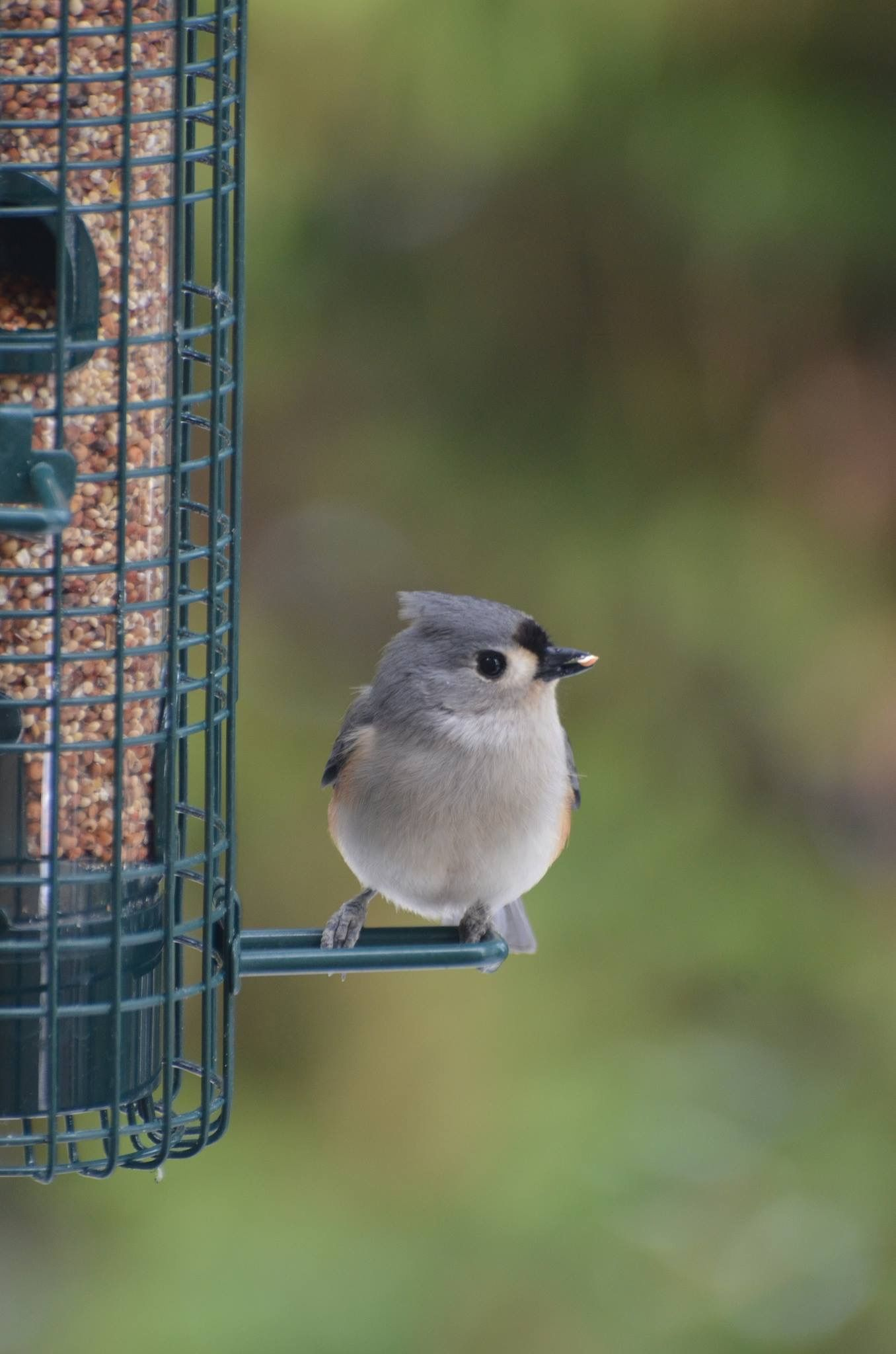 Common visitors to backyard bird feeders tufted titmice are often common visitors to backyard bird feeders tufted titmice are often found in the company of nuthatches and chickadees they can be identified by their black sciox Images