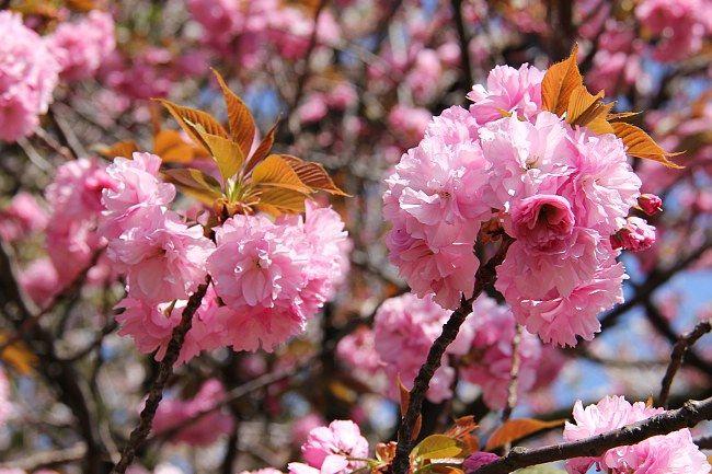 Kwanzan Cherry Tree Cherry Trees Garden Flowering Cherry Tree Japanese Cherry Tree