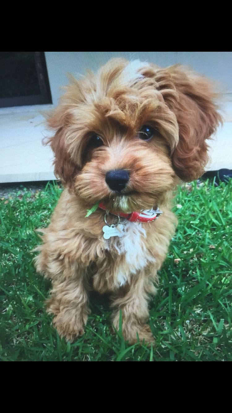 My Baby Cavoodle Puppy Cavapoo Puppies Cute Dogs Puppies