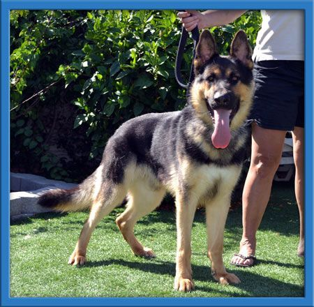 Maximus Is A 1 2 Years Old Male German Shepherd Ready For A Home