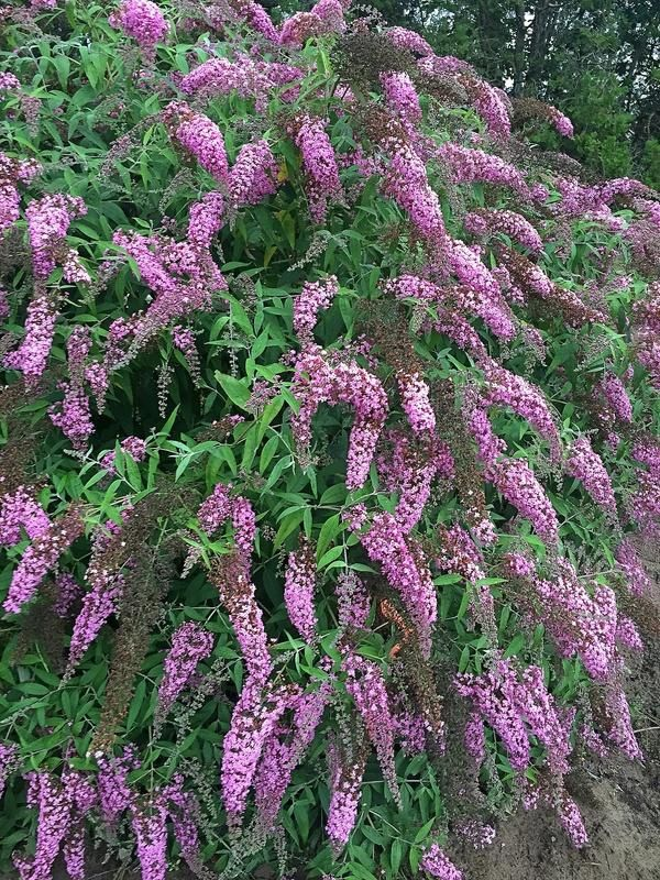 Picture of Live Butterfly Bush (pink) aka Buddleia dav. 'Pink Charm' Plant Fit 1 Gallon Pot