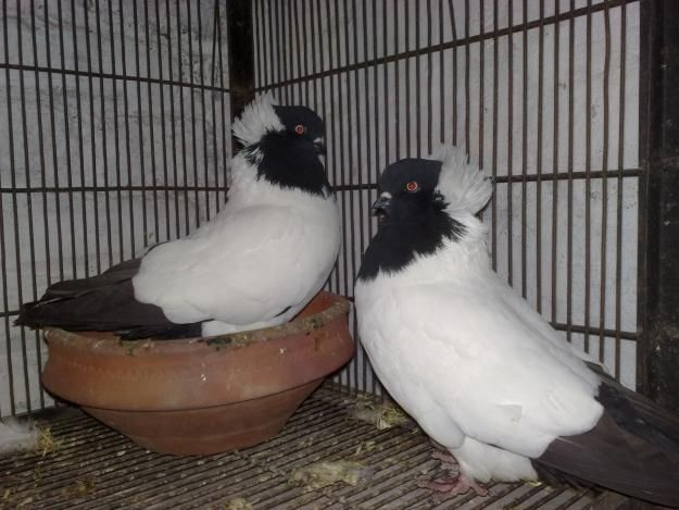 Fancy Pigeons | laky fancy and daby fancy kabootar, Kabootar Baazi