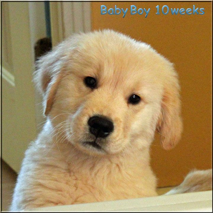 Golden Retriever Breeders Of Tennessee Check Here For Quality