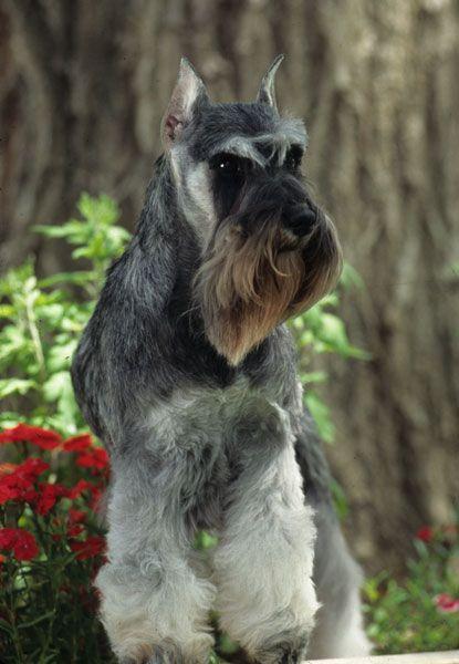 Petsmart Photo Of Salt And Pepper Standard Schnauzer Standard Schnauzer Schnauzer Akc Dog Breeds