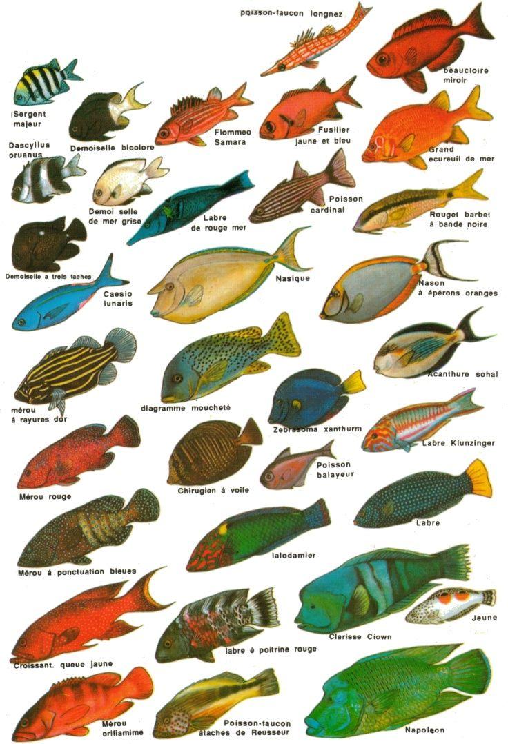 Les poissons peche pinterest les poissons poissons for Nom poisson rouge